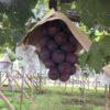 ぶどう栽培のコツ!大きく元気に育つ技術「摘果」「摘粒」とは?