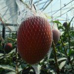 実は様々ある「アップルマンゴー」について青果のプロがご紹介♪