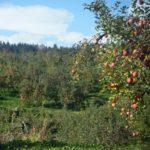 りんごの名産地は日本各地に…。今日は山形県のりんごの話です!