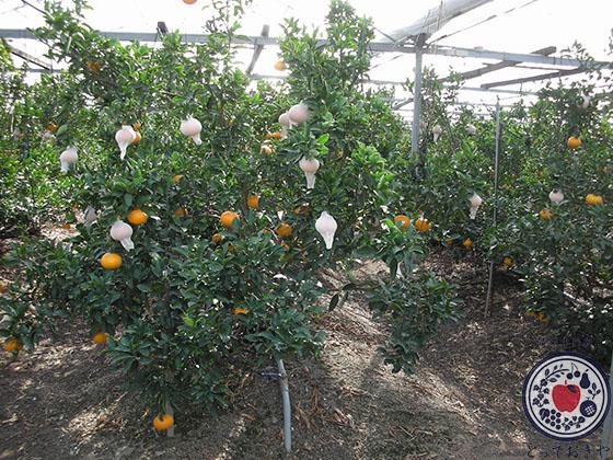 「紅まどんな」とは。愛媛生まれ愛媛育ちの希少な柑橘について語ります_ハウス栽培