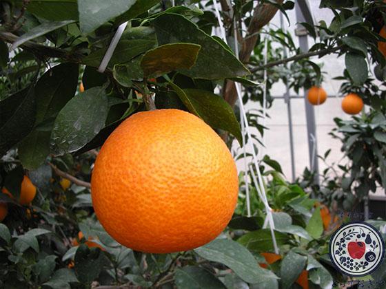 「紅まどんな」とは。愛媛生まれ愛媛育ちの希少な柑橘について語ります_木成り