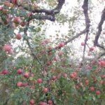 小さいサイズのカワイイりんご「姫りんご」ってご存知ですか?