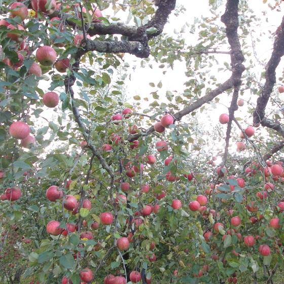 りんご風景(20171005)