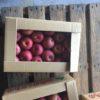 人気の二大品種「サンふじりんご」と「ふじりんご」の違いとは?