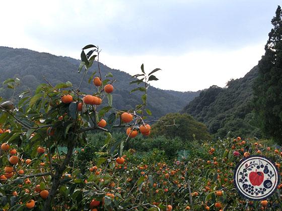 陽豊柿をご存知ですか?大きい!赤い!甘い!三拍子揃った幻の柿_陽豊の歴史