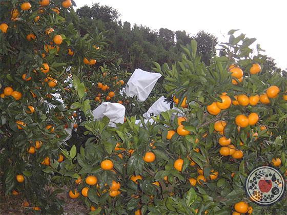 とっておきの袋かけ高級みかん「小太郎みかん」_栽培方法の特長