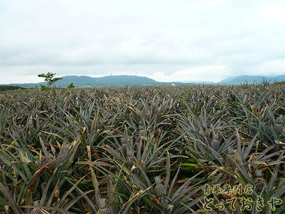 沖縄パインアップルの品種を青果の道40年の男が詳しく語ります(畑)
