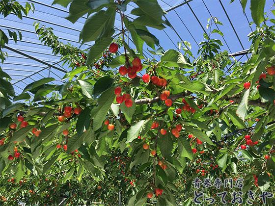 さくらんぼの品種それぞれ豆知識と旬の時期を青果担当が語る!_佐藤錦