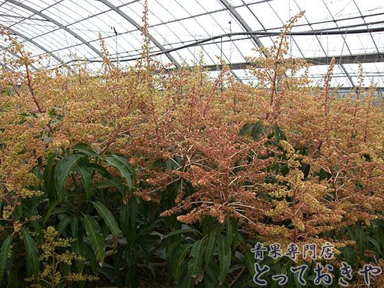 マンゴーのおすすめの食べ方と選び方を青果スタッフが解説します♪「マンゴーの花」