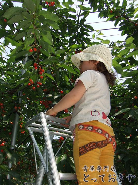 定番人気のさくらんぼの代表品種「佐藤錦」を詳しくご紹介します_産地の山形へ行ってきました
