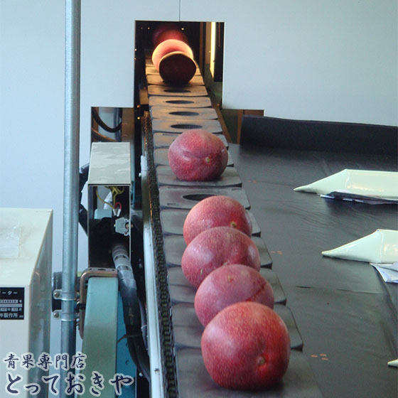 平成30年に20周年を迎える宮崎高級マンゴー「太陽のタマゴ」の話_センサーで糖度チェック中