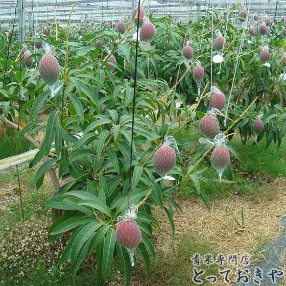平成30年に20周年を迎える宮崎高級マンゴー「太陽のタマゴ」の話_ネット吊りで栽培