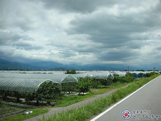 山形県サクランボ産地訪問記_雨よけテント栽培