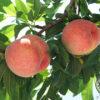 おいしい桃の見分け方と食べ頃の見極め方のコツとは!