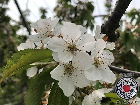 山形産地訪問_さくらんぼの花5