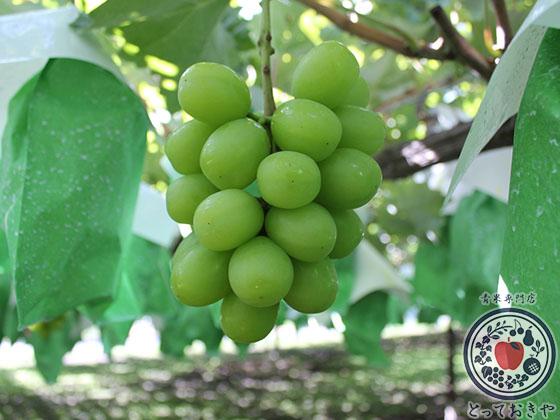 秋のフルーツ「ブドウ」編_杉さんオススメ「緑系ぶどう」