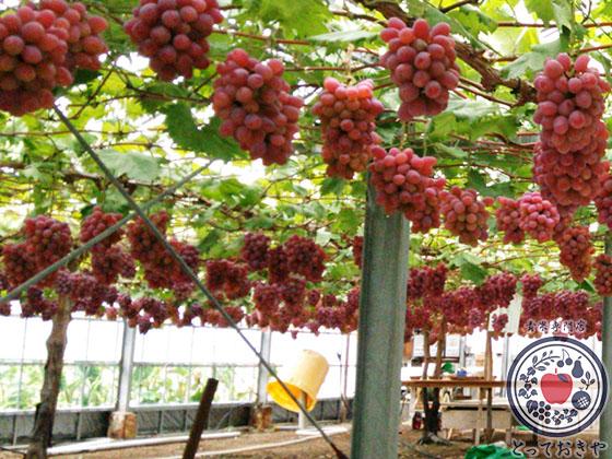 秋のフルーツ「ブドウ」編_杉さんオススメ「赤系ぶどう」