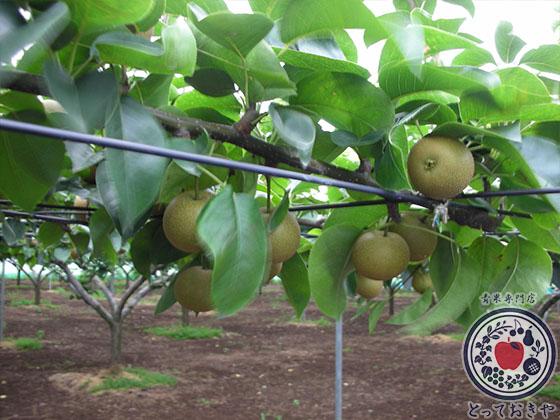 秋のフルーツ「梨」について_あきづき梨園
