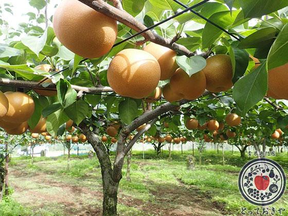 秋のフルーツ「梨」について_にっこり梨
