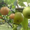 秋のフルーツ「梨」情報満載!オススメ品種、選び方のコツも解説
