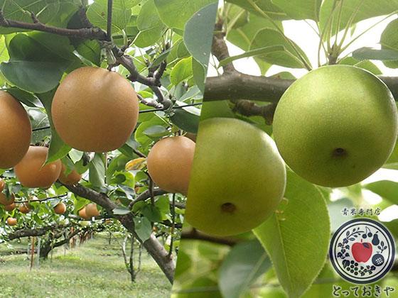 秋のフルーツ「梨」について_和梨の赤と青の比較