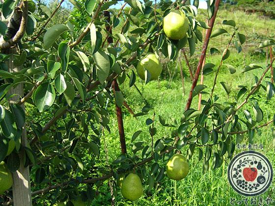 秋のフルーツ「梨」について_洋梨の特長