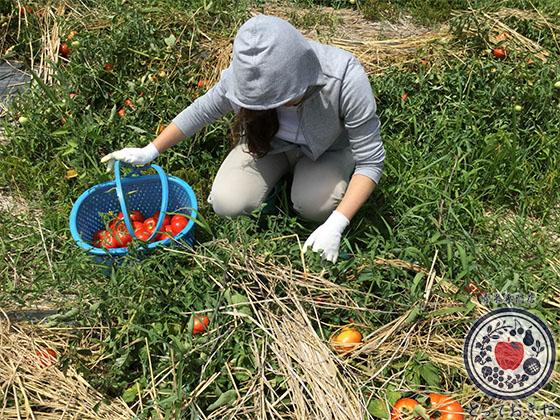 長野県飯綱高原のトマト畑で収穫体験!杉さんの産地訪問レポート_トマト収穫中