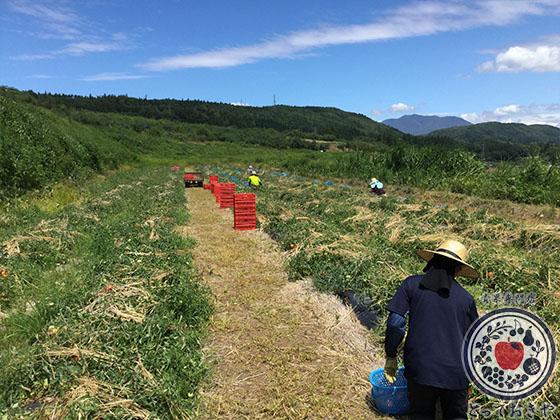 長野県飯綱高原のトマト畑で収穫体験!杉さんの産地訪問レポート_トマト畑