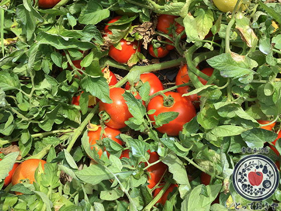 長野県飯綱高原のトマト畑で収穫体験!杉さんの産地訪問レポート_上野さんのトマトのお話し