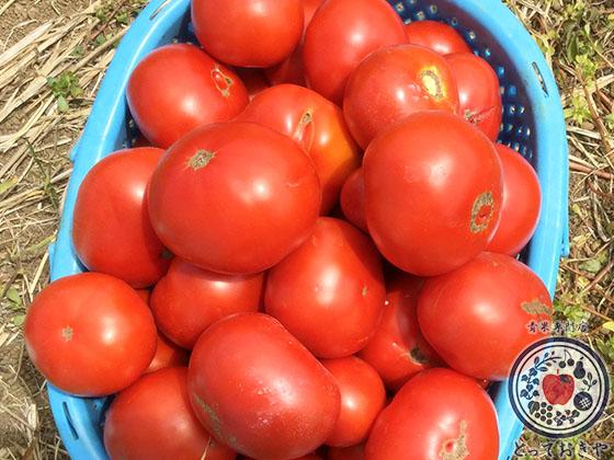 長野県飯綱高原のトマト畑で収穫体験!杉さんの産地訪問レポート_採れたての加工用トマト