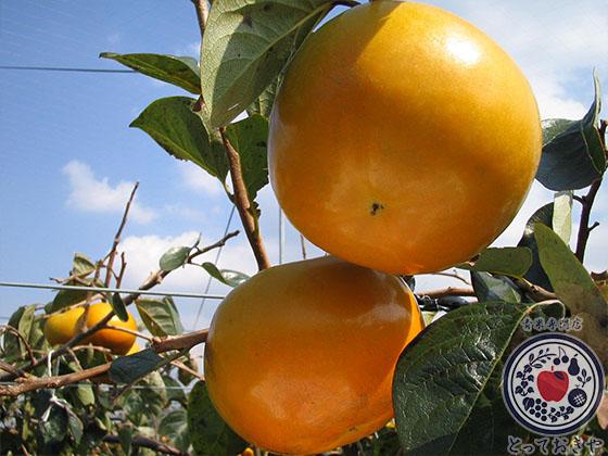 秋のおすすめフルーツ「柿」の種類を青果のプロが詳しく解説_太秋柿