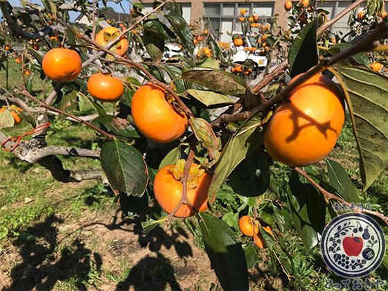 秋のおすすめフルーツ「柿」の種類を青果のプロが詳しく解説_陽豊柿
