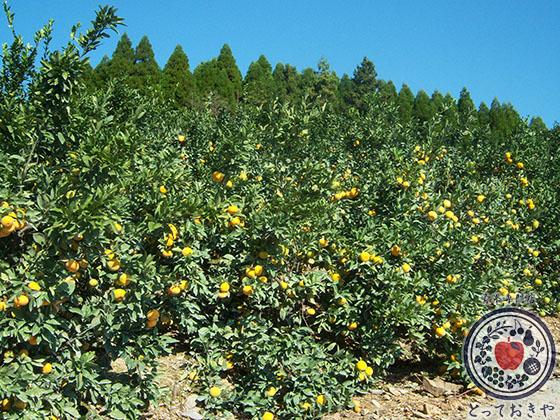 秋冬の人気果物「みかん」のおすすめ4品種を青果部長が推薦_太陽の雫