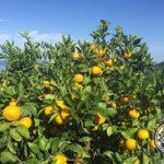 秋冬の人気果物「みかん」のおすすめ4品種を青果部長が推薦!