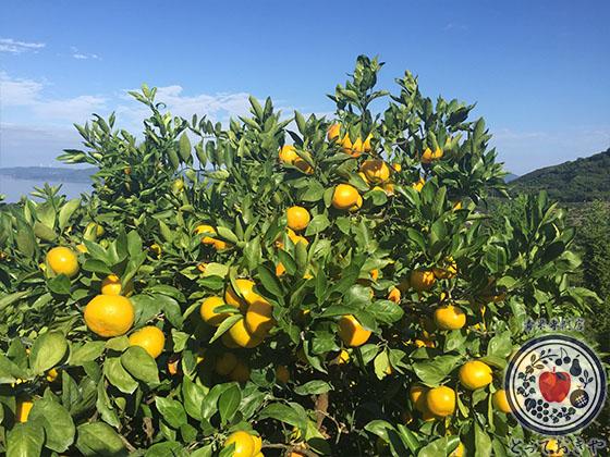 秋冬の人気果物「みかん」のおすすめ4品種を青果部長が推薦_西宇和みかん