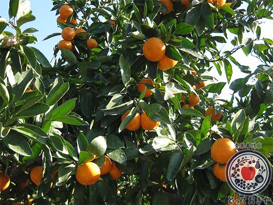 秋冬の人気果物「みかん」の特長、旬情報、雑学ネタを徹底解説_樹なり