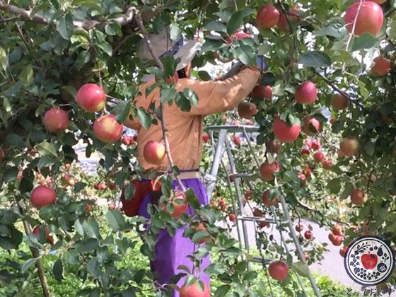 動画あり!長野県飯綱町のリンゴ園へ。とっておきの産地訪問記_長野県は生産量全国2位