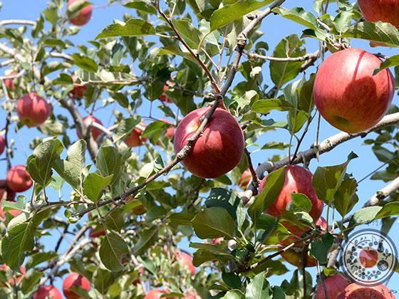 あなた好みのりんごはどれ?りんごの種類・味の特徴レクチャーします_シナノスイート木