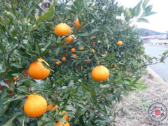 デコポンとは。品種の特長、産地、人気柑橘の魅力を深~く語る!_栽培方法と出荷時期の関係