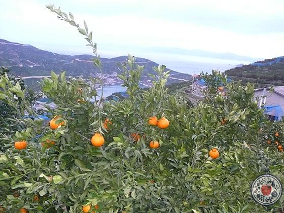 デコポンとは。品種の特長、産地、人気柑橘の魅力を深~く語る!_産地風景