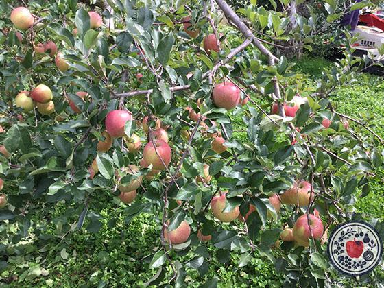 動画あり!長野県飯綱町のリンゴ園へ。とっておきの産地訪問記_密集栽培