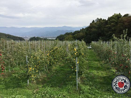 動画あり!長野県飯綱町のリンゴ園へ。とっておきの産地訪問記_新わい化栽培