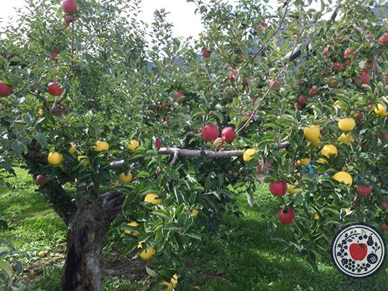 動画あり!長野県飯綱町のリンゴ園へ。とっておきの産地訪問記_珍しい接ぎ木