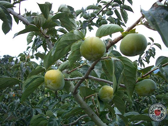 和歌山県産「紀の川柿」_木なりの柿