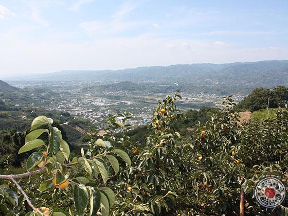 和歌山県産「紀の川柿」_産地の景色