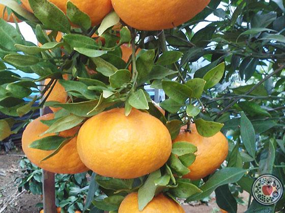愛媛の柑橘「甘平」とは_扁平な形が珍しい