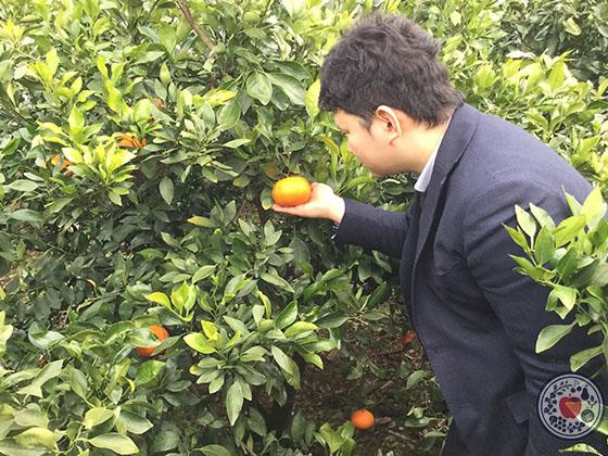 愛媛の柑橘「甘平」とは_栽培の様子を見学