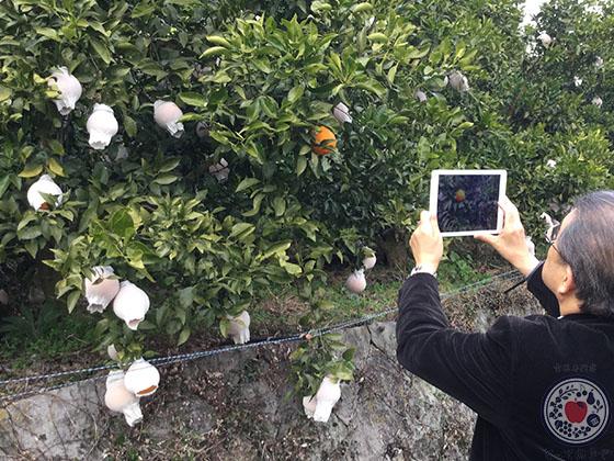 愛媛の柑橘「甘平」とは_袋かけ栽培