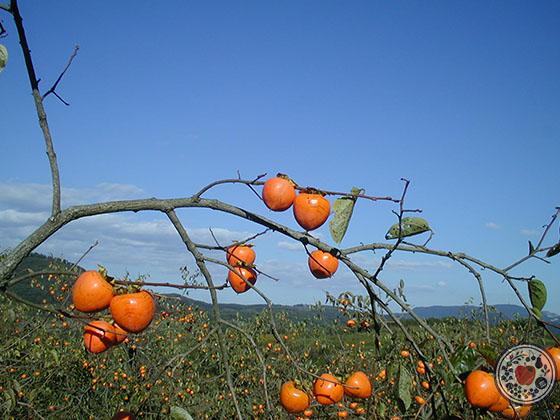 あんぽ柿とは_柿の木成り