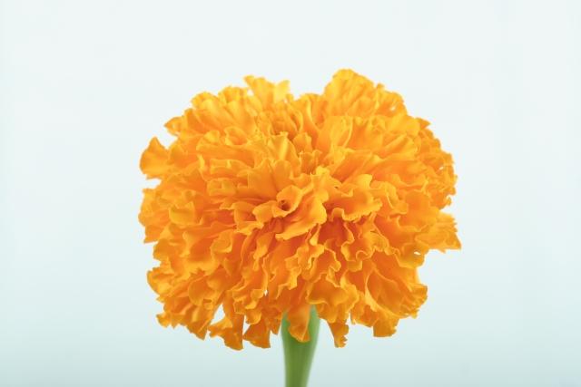 母の日_オレンジカーネーション